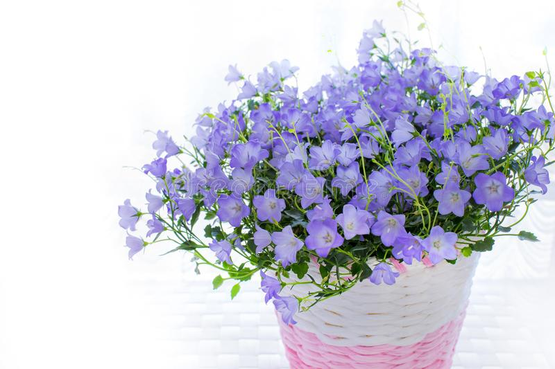 Violet campanula carpatica flowers in white backround. stock image