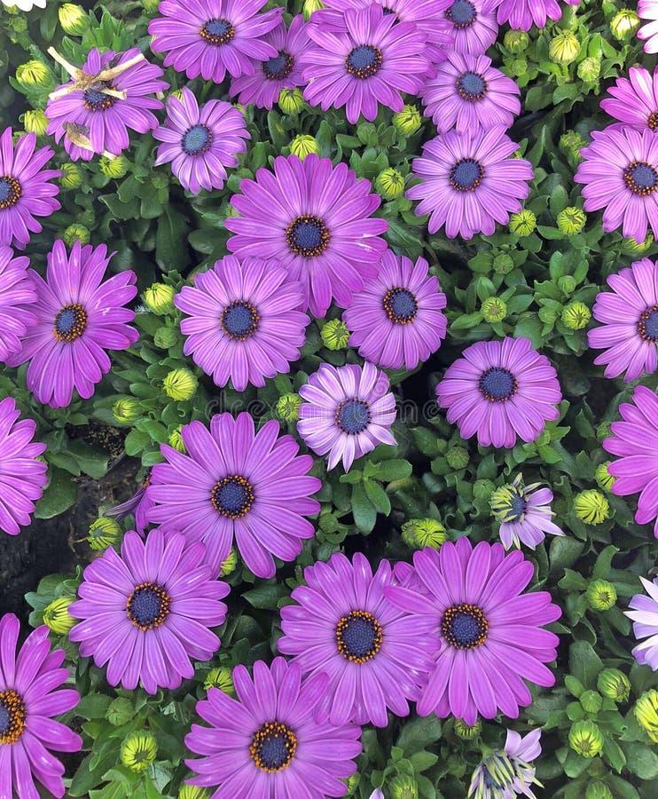 Violet Cape Marguerite Daisies en un campo fotografía de archivo