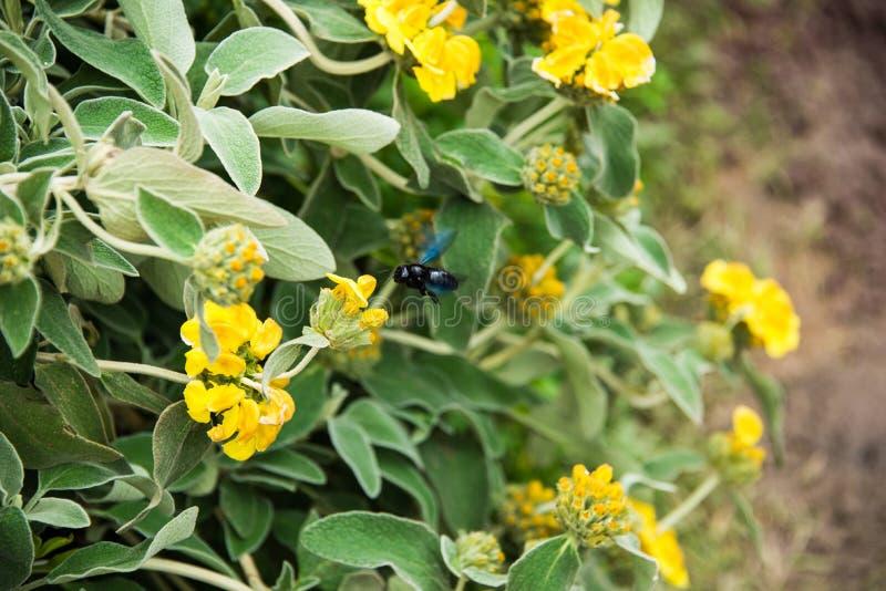 Violet Carpenter Bee em um fundo floral fotos de stock