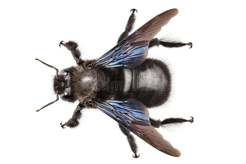 Download Violet Carpenter Bee Species Xylocopa Violacea Stock Photo - Image: 28913654