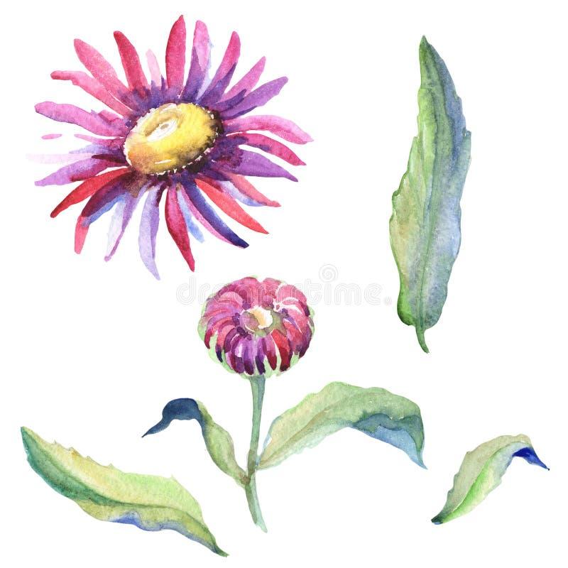 Violet chamomile. Floral botanical flower. Wild spring leaf wildflower isolated. Aquarelle wildflower for background, texture, wrapper pattern, frame or border royalty free illustration