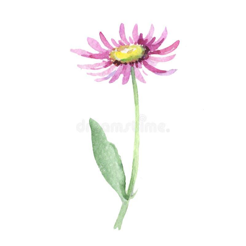 Violet chamomile. Floral botanical flower. Wild spring leaf wildflower isolated. Aquarelle wildflower for background, texture, wrapper pattern, frame or border stock illustration