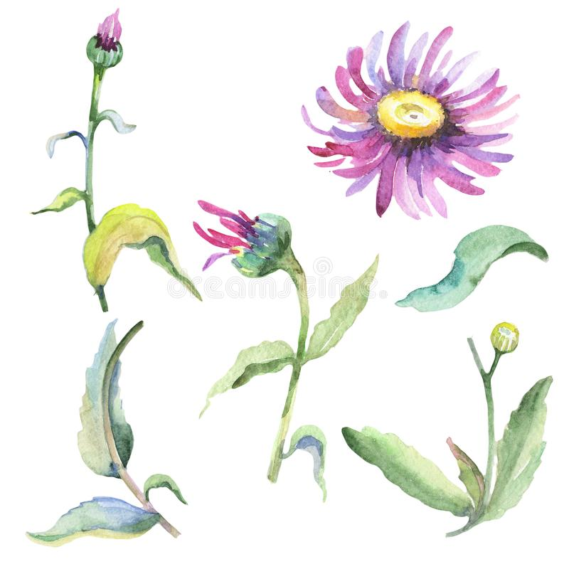 Violet chamomile. Floral botanical flower. Wild spring leaf wildflower isolated. Aquarelle wildflower for background, texture, wrapper pattern, frame or border vector illustration