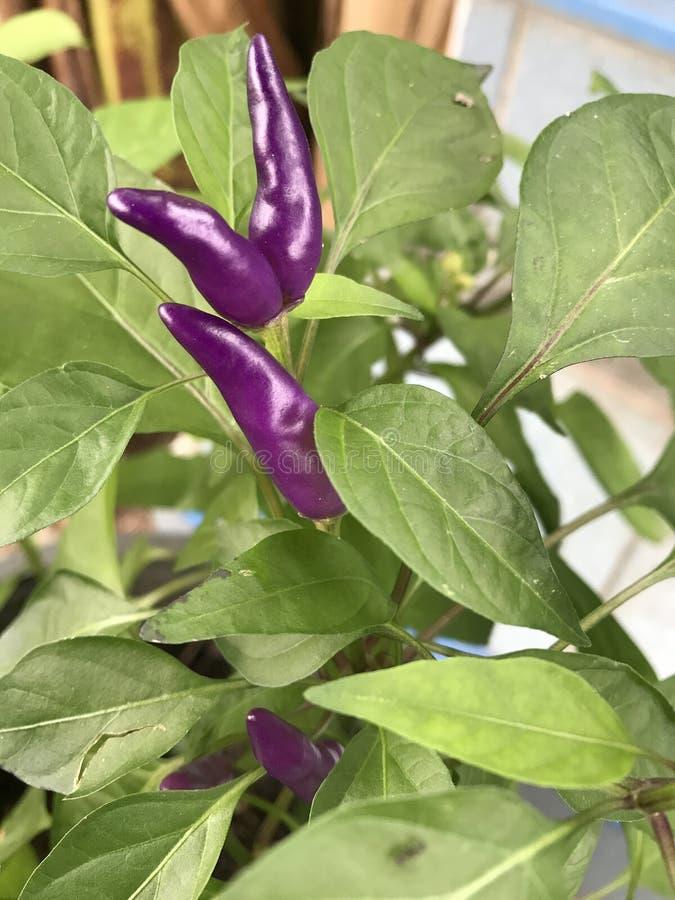 Violet chili royalty free stock photo