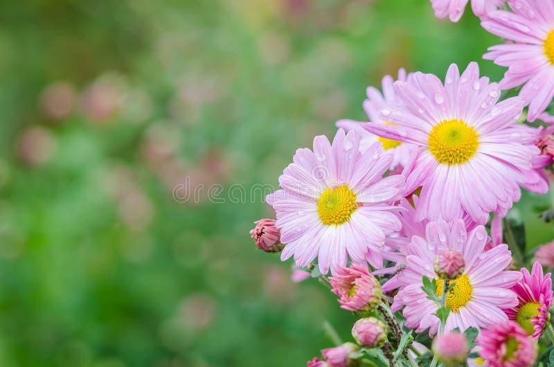 Violet chrysanthemums flowers in garden. Festive greeting card royalty free stock image
