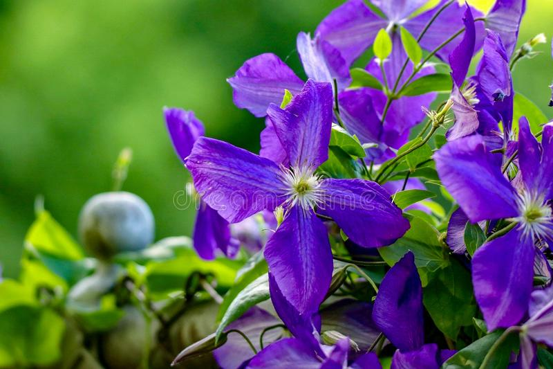 Violet Clematis em uma videira em um jardim imagens de stock