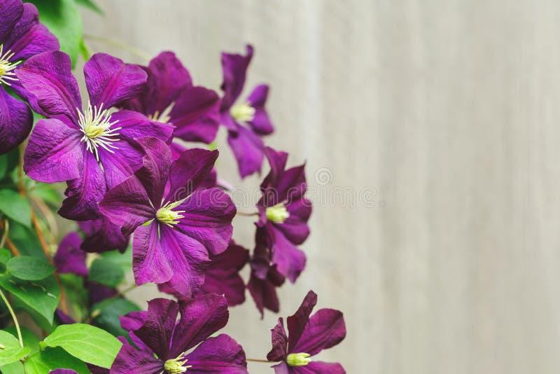 Violet Clematis Flowers com espaço da cópia fotografia de stock royalty free