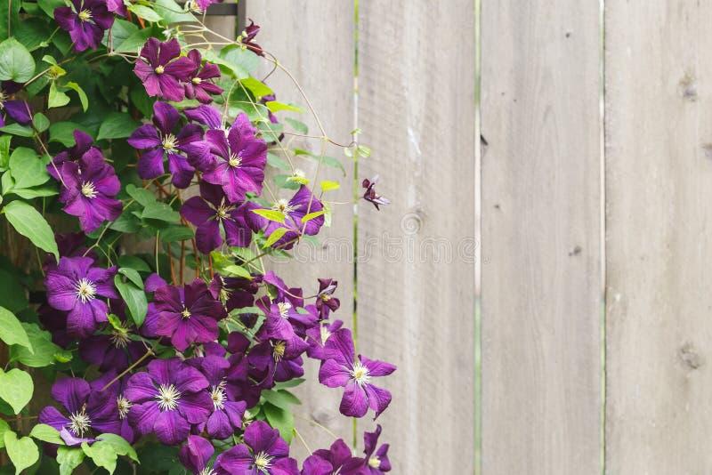 Violet Clematis Flowers com espaço da cópia fotografia de stock