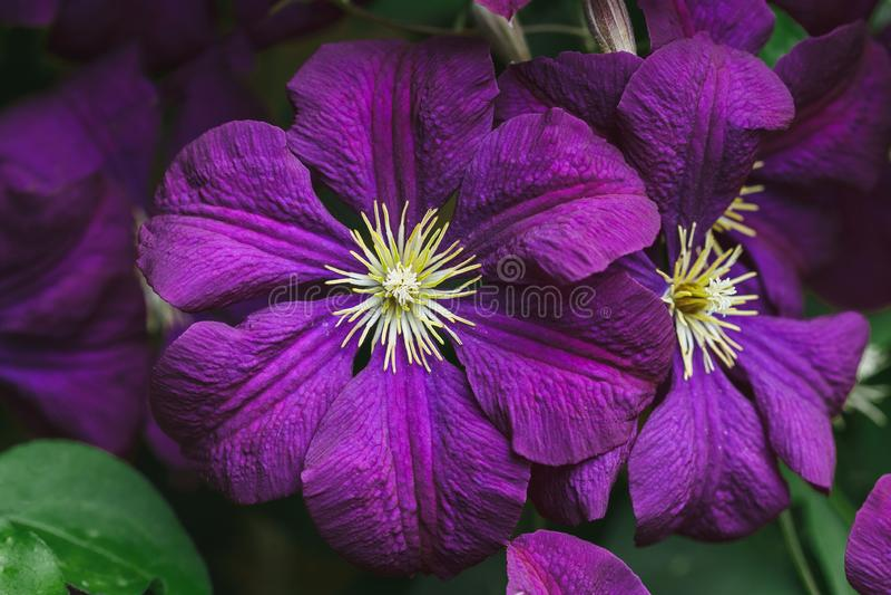 Violet Clematis Flowers no tiro macro do jardim foto de stock royalty free
