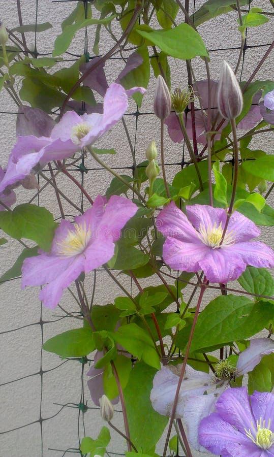 Violet Clematis Morning fotos de stock royalty free