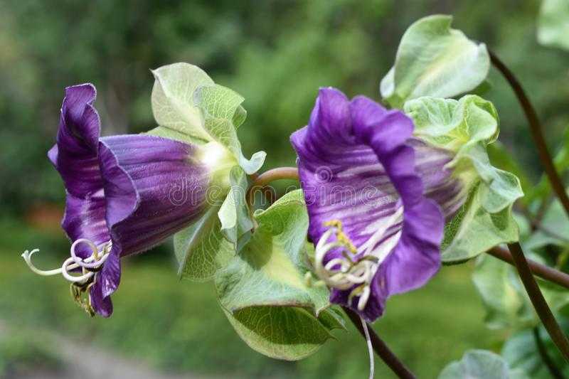 The violet Cobaea scandens flower, macro, bokeh background. The violet Cobaea scandens flower. In late summer to early spring, the large, bell-shaped flowers are royalty free stock images