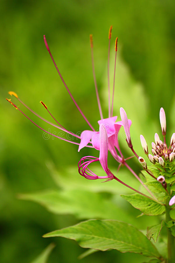 Free Violet Color Showy Spider Flower With White Buds Stock Image - 18898031