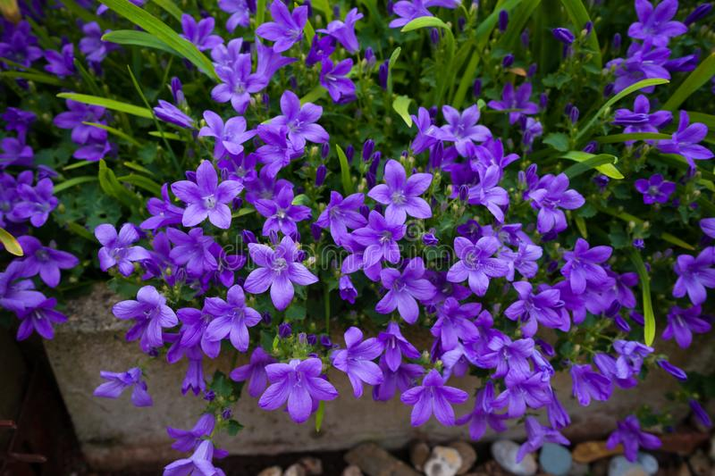 Violet colored Campanula muralis flowers as a background growing in the garden stock photos