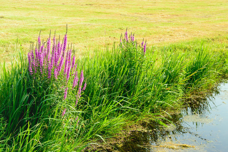 Violet colored flowers of Spiked Loosestrife on the waterfront. Closeup of grasses and purple colored Purple Loosestrife on the outskirts of newly mown grassland royalty free stock images