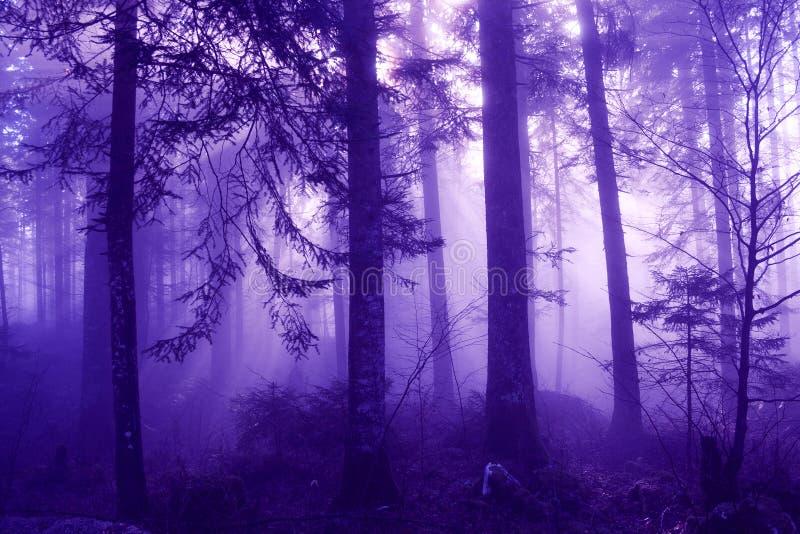 Violet colored morning foggy forest landscape stock image