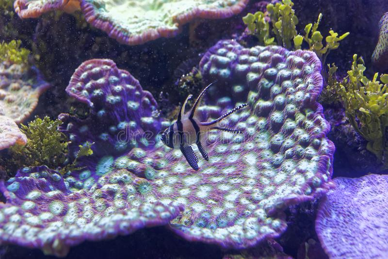 Violet coral with violet fish underwater world. Aquarium with the detail of the colorful Great Barrier Reef coral environment and a violet fish swimming by