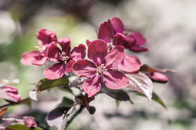 Violet Crabapple-bloesems De lente die wilde appelen in de tuin bloeien Bestuiving van bloemen van appelen royalty-vrije stock fotografie
