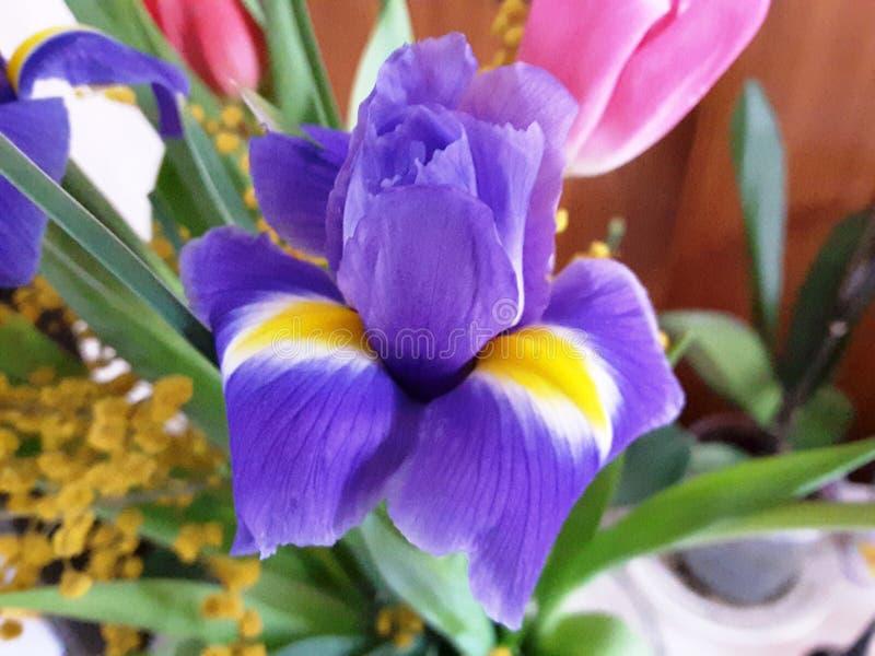 Violet Crocus. Beautiful flower close up. stock photos