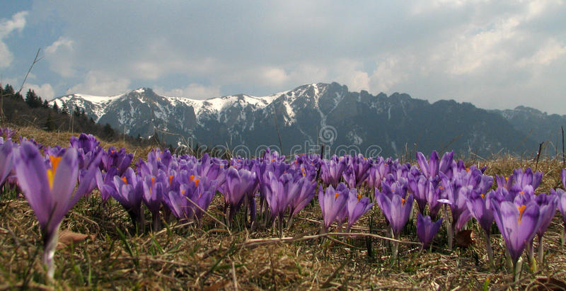 Download Violet Crocus Flowers - Mountains Landscape Stock Photo - Image: 12323746