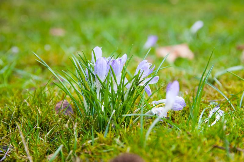 Violet crocus on a green meadow royalty free stock photo