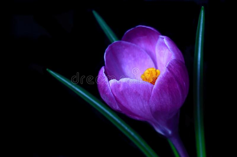 Violet Crocus spring flower. In the darkness, isolated on black background, image royalty free stock photography
