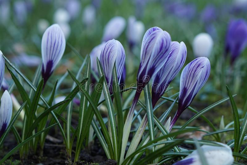 Violet crocus spring flower royalty free stock photo