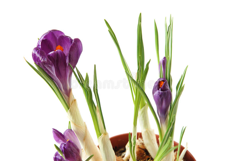 Violet crocuses. Close-up of blooming violet crocuses in pot on white background royalty free stock images