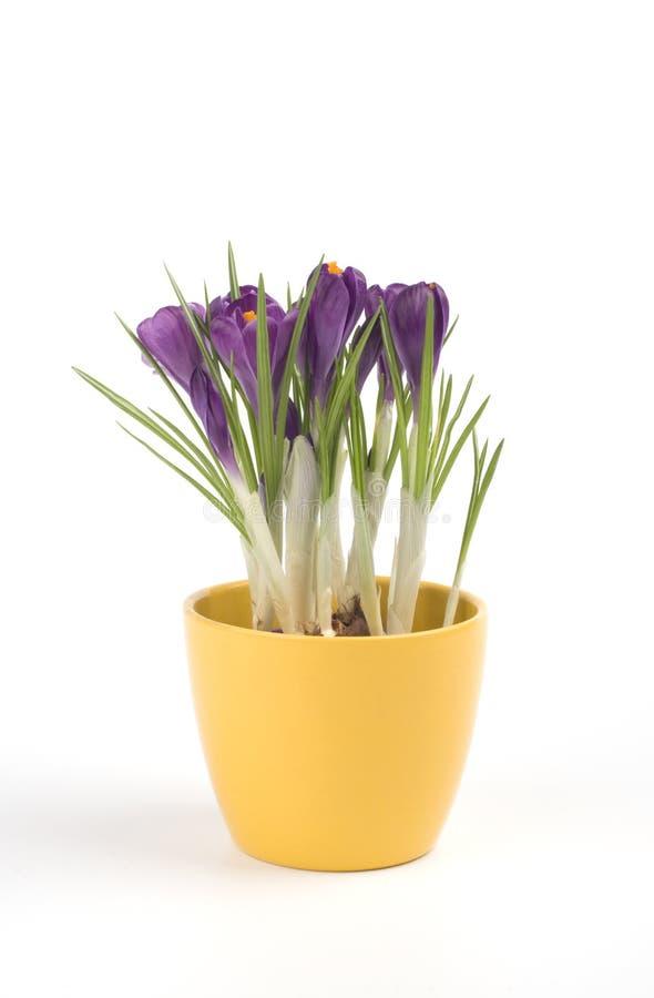 Violet Crocuses In A Pot Stock Photo