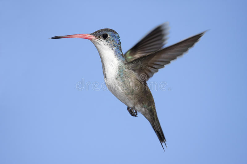 Violet-crowned Hummingbird (Amazilia violiceps) royalty free stock photo