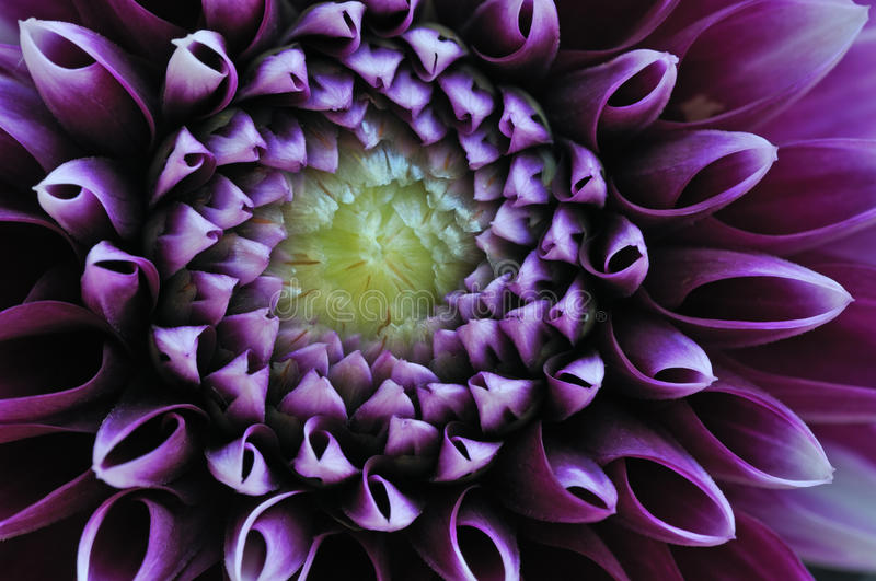 Violet Dahlia royalty free stock photography