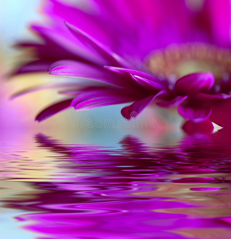 Violet daisy-gerbera. Closeup of violet daisy-gerbera with soft focus reflected in the water stock photography