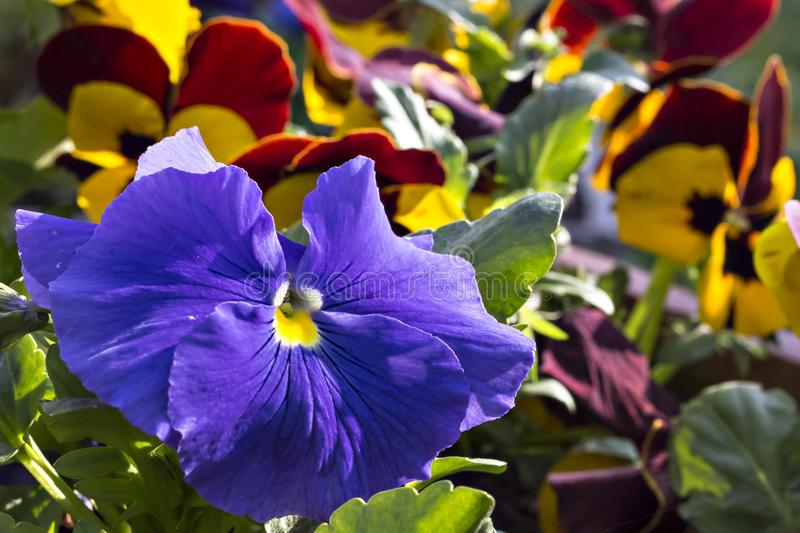Pansy flower in the garden stock image