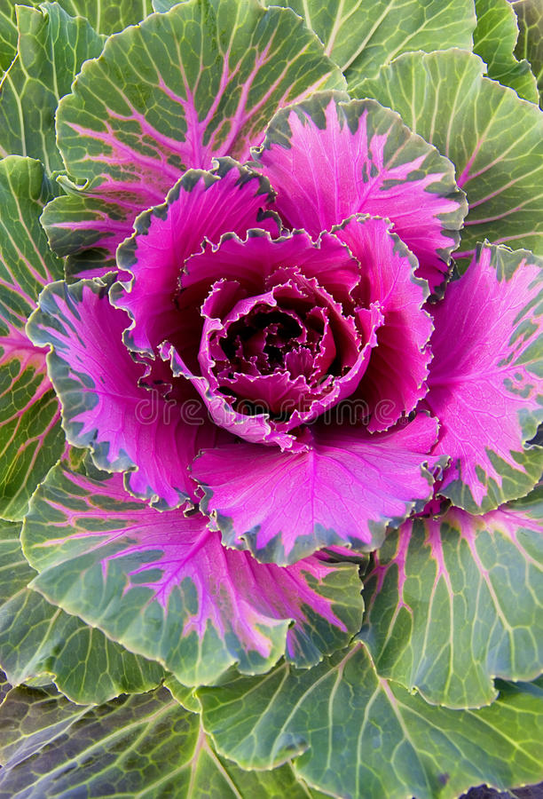 Free Violet Decorative Cabbage Stock Images - 14894634
