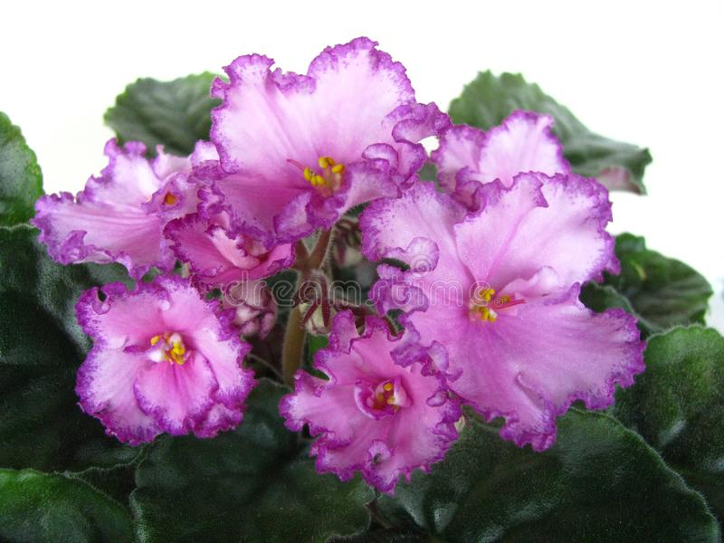 Flower, Flowers violet, African violets royalty free stock images