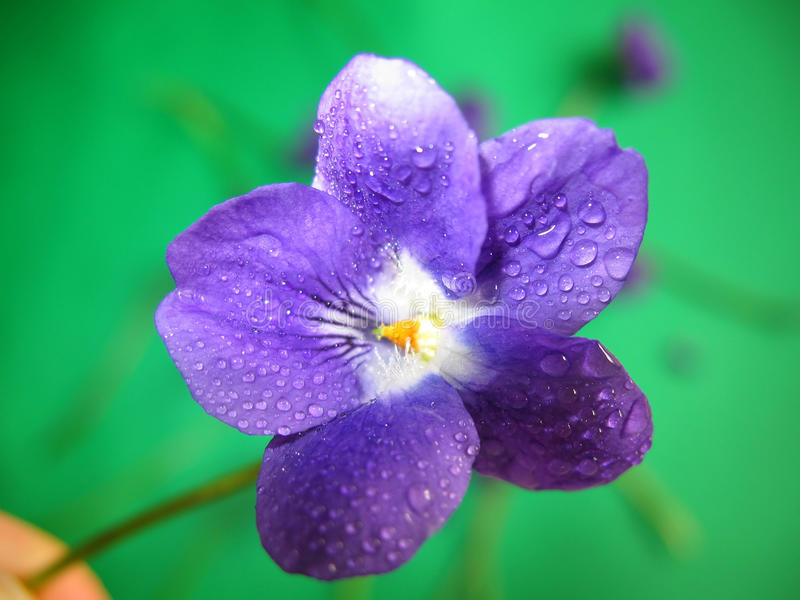 Violet Dew. Close-up of a violet sprinkled with water on a blurry, green background with other violets on it stock photos