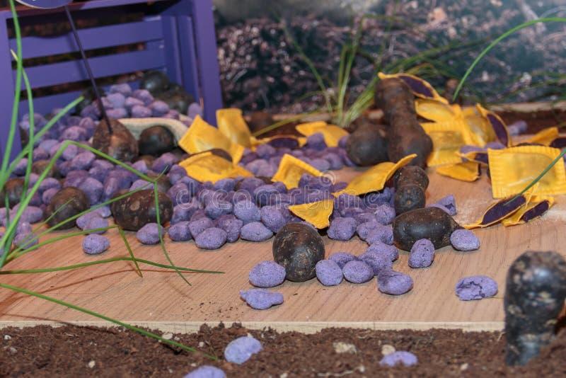 Violet Dumplings, nouvelles pâtes italiennes de Violet Potato images stock