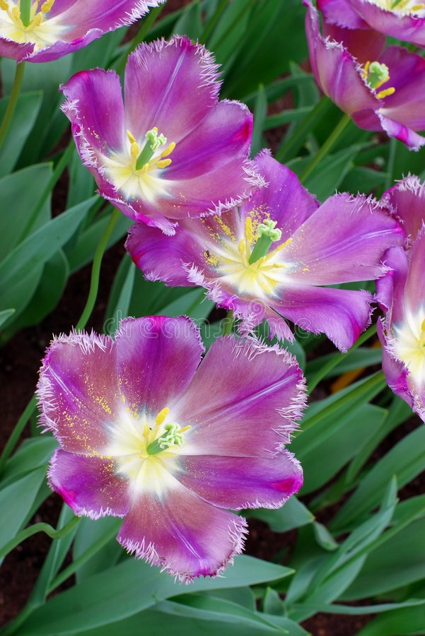 Violet dutchl tulips royalty free stock images