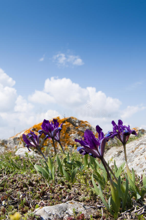 Violet Dwarf Iris royalty free stock photos