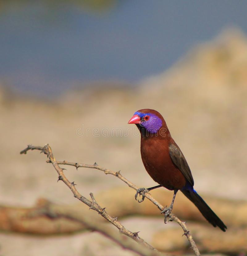 Download Violet-eared Waxbill - Beauty And The Thorn Stock Image - Image: 26549833
