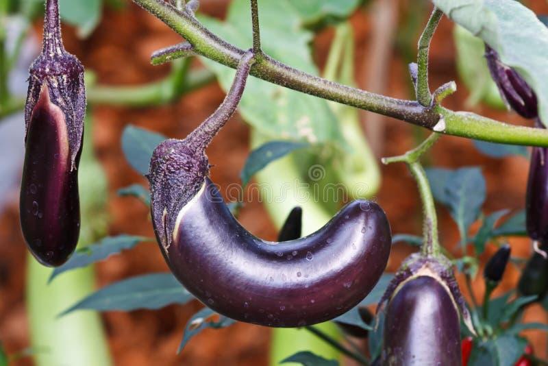Violet eggplant stock photography