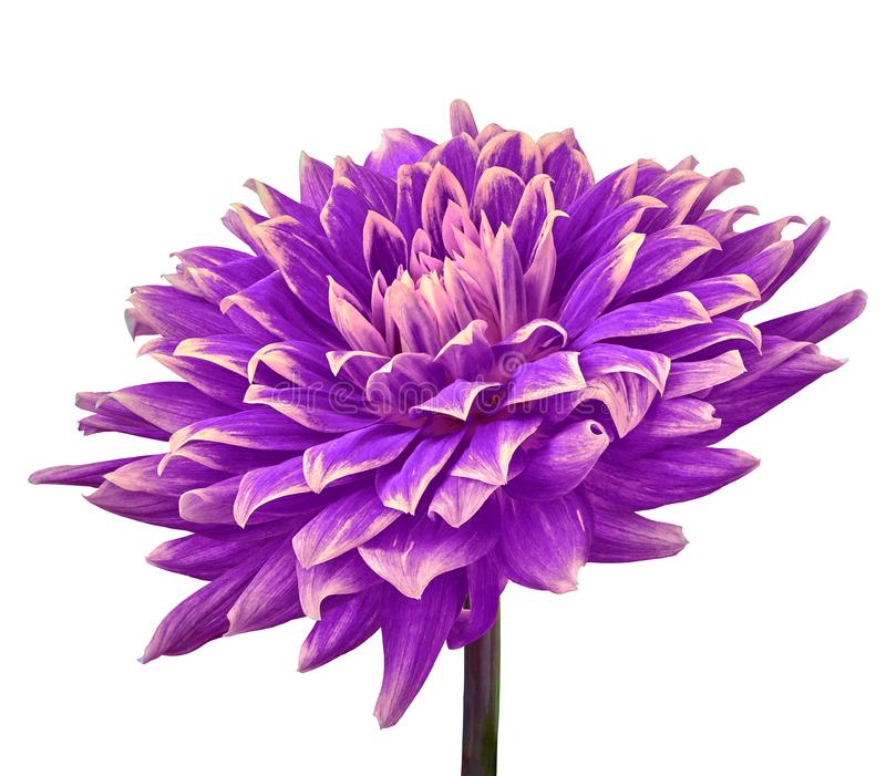 Violet-eggplant pink flower dahlia isolated on a white background. Close-up. Flower on a stem. stock photos