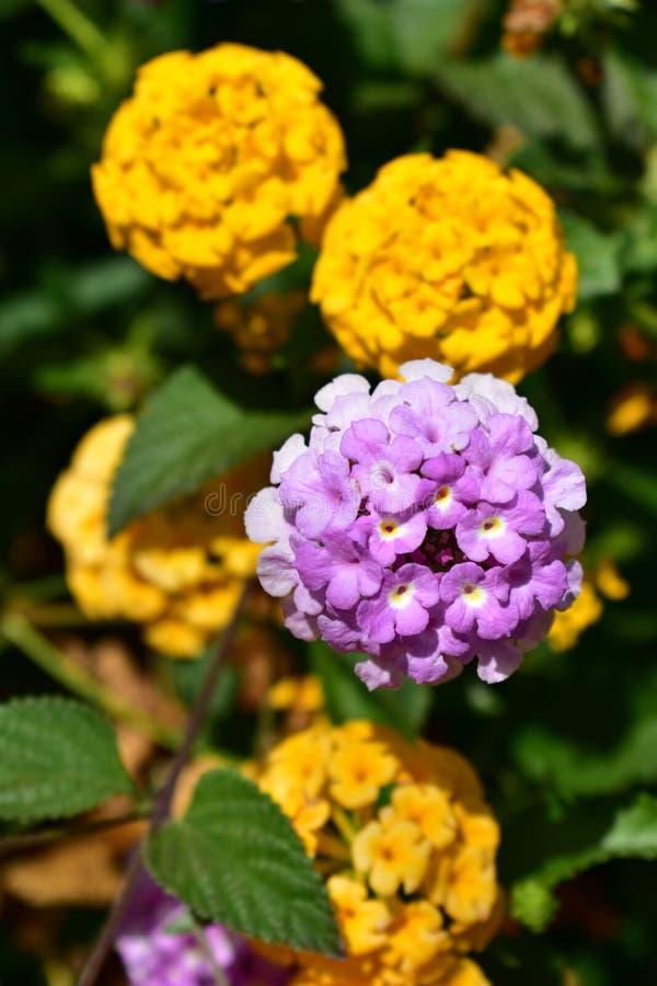 Violet et orange fleurit le plan rapproché Bush avec les feuilles vertes photo stock