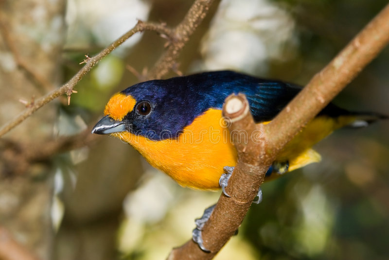 Download Violet Euphonia Bird stock photo. Image of bird, birds - 8104144
