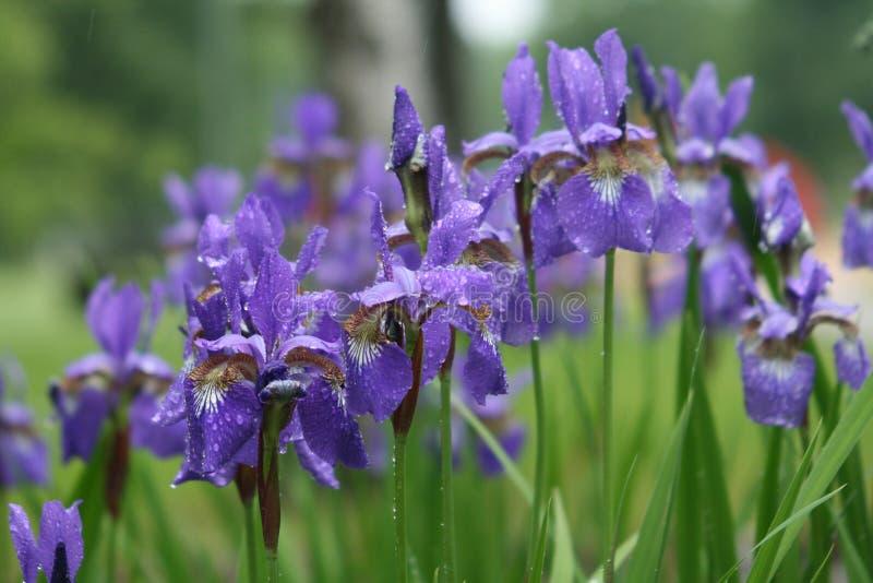 violet för blommairispark royaltyfria bilder