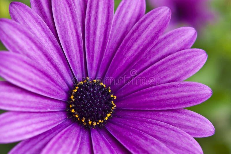 Violet flower. Close-up of violet flower stock images