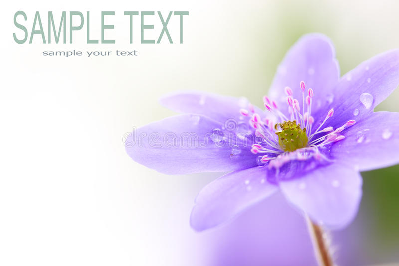 Violet flower. Wood violet flower with space for text stock images