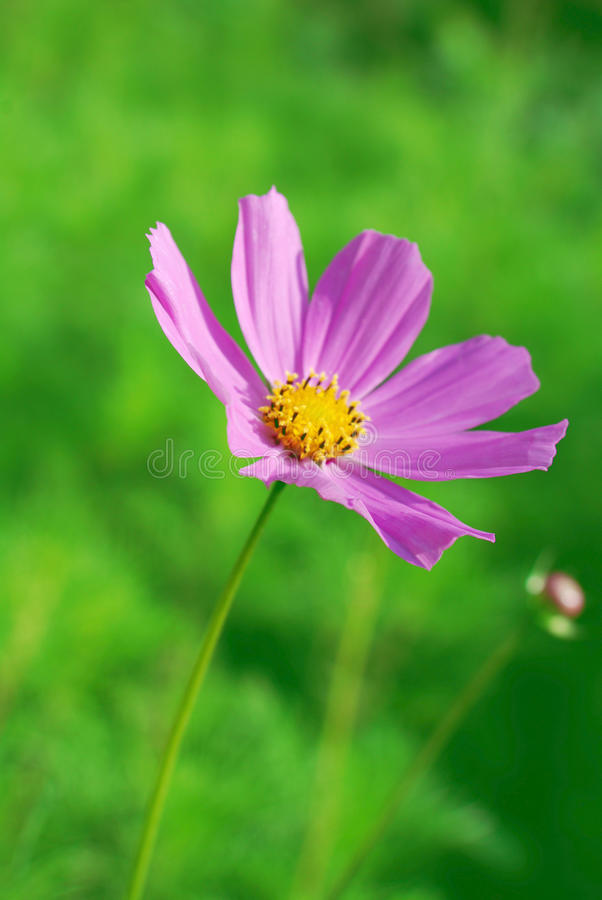 Violet flower. On green background. Closeup royalty free stock photos