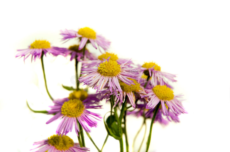Violet_flower royalty free stock photos