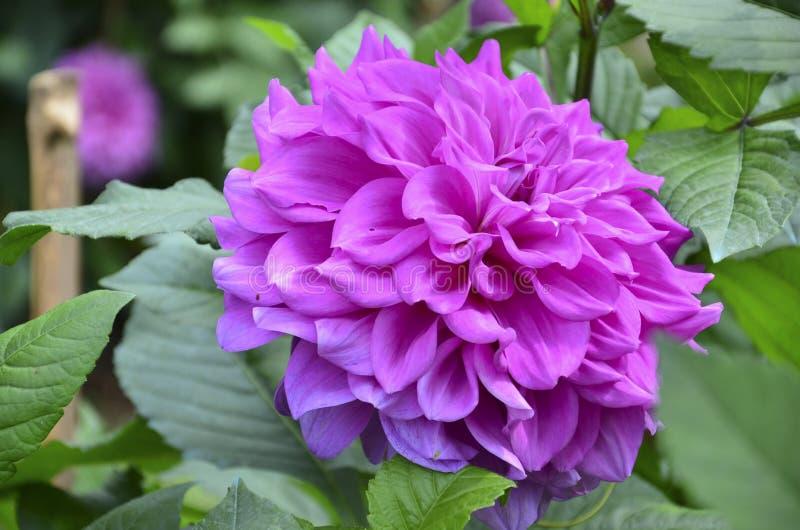 Violet Flower lizenzfreie stockbilder