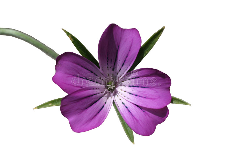 Violet flower. Star shaped violet flower, isolated